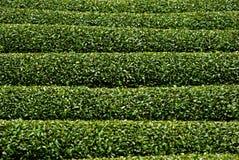 Tea garden, Wazuka, Japan. Tea garden in Wazuka, Japan Royalty Free Stock Image
