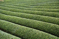 Tea garden, Wazuka, Japan. Tea garden in Wazuka, Japan Stock Photography