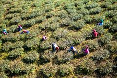 Tea Garden Workers Darjeeling stock photography