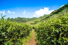 Tea gardens and blue sky. Royalty Free Stock Photography