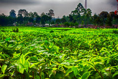 Tea gardens in a cloudy Royalty Free Stock Image