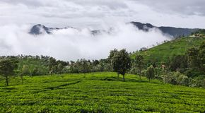 Tea gardens on the hills of Coonoor under the rainy clouds of monsoon stock photo