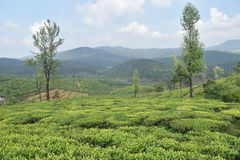 Tea Gardens in India Stock Photos