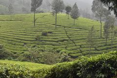 Tea gardens in India Stock Photo