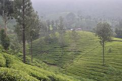 Tea Gardens in India Royalty Free Stock Photography