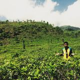 Tea Gardens. Located in Kendal, Central Java, Indonesia Royalty Free Stock Photo