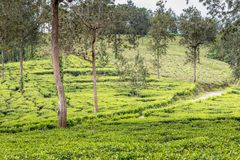 Tea gardens at ooty. At its best view , tea plantations Royalty Free Stock Image