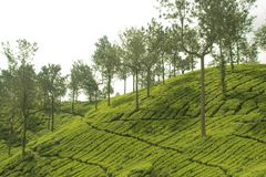 Tea gardens at ooty. Tea plantations at its best view Stock Photos