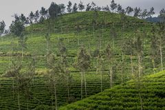 Tea gardens at ooty. Tea plantations at its best view Royalty Free Stock Images