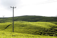 Tea gardens. Tea plantation in the hills undulating form a beautiful texture Stock Images