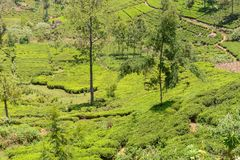 Tea gardens in a valley royalty free stock photo