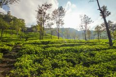 Tea gardens with some trees, lit in morning backlight sun. Kandy. Tea gardens with some trees, lit in morning backlight sun royalty free stock photography