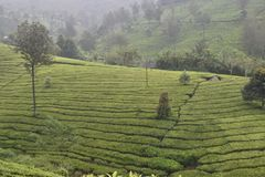 Tea gardens in India Stock Images