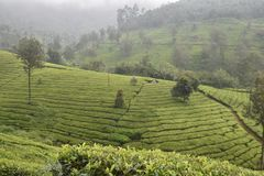 Tea gardens in India Stock Photography