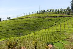 Tea gardens in a valley stock image