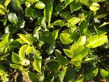 Tea. Sri Lanka. Green tea bush growing in Sri Lanka Royalty Free Stock Photos
