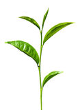 Tea green leaves isolated Royalty Free Stock Images