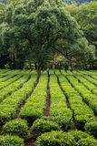 Tea grower working in field in China. Tea plantation worker walking between the rows of tea plants, day, harvest, spraying, green Stock Photography