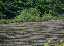 Tea growing. In the mountains in rows with trees on the background Royalty Free Stock Photography