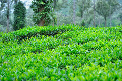 Tea grows Royalty Free Stock Image