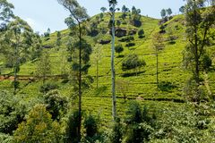Tea grows at plantation hills stock images