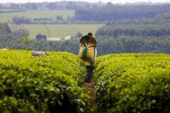 Tea harvest Stock Photo