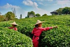Tea harvest Guilin Yangshuo Guangxi  China Stock Photos
