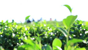 The tea harvest by hand as the workers move laboriously through the long rows of low tea bushes stock footage