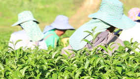 The tea harvest by hand as the workers move laboriously through the long rows of low tea bushes stock video