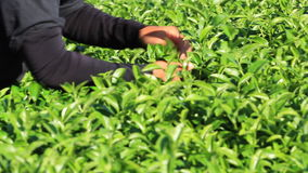 The tea harvest by hand as the workers move laboriously through the long rows of low tea bushes. Tea flushes harvested by hand have high quality and make up for stock video footage