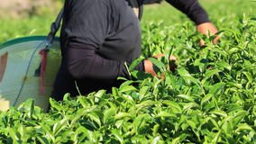 The tea harvest by hand as the workers move laboriously through the long rows of low tea bushes. Tea flushes harvested by hand have high quality and make up for stock video