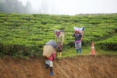 Tea harvest Stock Images