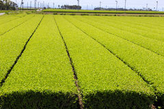Tea harvest in Kagoshima Royalty Free Stock Photos