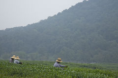 Tea Harvest at Longjing near Hangzhou. Longjing, a typical Chinese green tea, is harvested by farm workers near the tea museum (Shuangfeng, Longjing Rd, Hangzhou Royalty Free Stock Photography