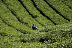 Tea harvest in Malaysia Stock Photo