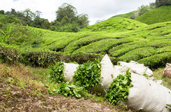 Tea harvest Royalty Free Stock Photos
