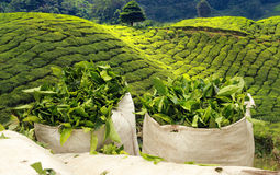 Tea harvest on tea plantation Royalty Free Stock Images