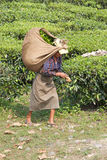 Tea harvesters, West Bengal, India Stock Images