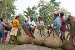 Tea harvesters, West Bengal, India Royalty Free Stock Image