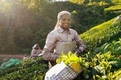 Tea harvesting in Munnar Stock Image