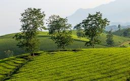 Tea hills in Long Coc highland stock photos