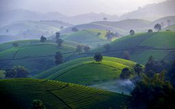 Tea hills in Long Coc highland stock images