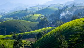 Tea hills in Long Coc highland royalty free stock images
