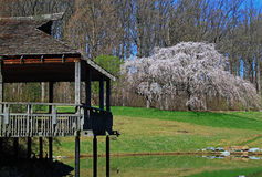 Tea House Cherry Tree. Tea House with Flowering Cherry Tree in Park royalty free stock image