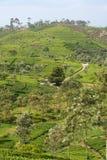 Tea Land. Photo of tea plantation in Ceylon Stock Photos