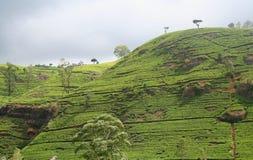 Tea Land. Photo of tea plantation in Ceylon Stock Image