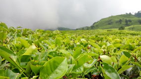 Tea land in west java. Is so fresh Stock Photo