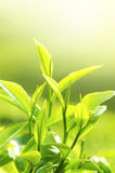 Tea Leaf. With Plantation in the Background (Morning Royalty Free Stock Images