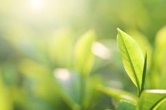 Tea leaf Stock Photos