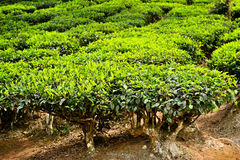 Tea leaf Royalty Free Stock Photo